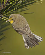 Grace's Warbler, photo by Lloyd Spitalnik