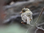 Pacific-slope Flycatcher, photo by Richard Guthrie