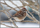 American Tree Sparrow, photo by Aidan Griffiths, age 14