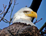 Bald Eagle, photo by Carena Pooth