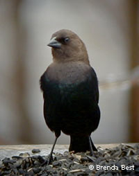 Brown-headed Cowbird, photo by Brenda Best