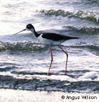 Black-necked Stilt, photo by Angus Wilson