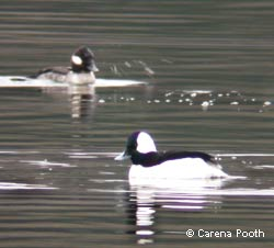 Bufflehead pair, photo by Carena Pooth