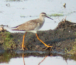 Lesser Yellowlegs, photo by Carena Pooth
