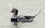 Long-tailed Duck, photo by Carena Pooth