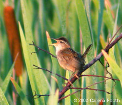 Marsh Wren at the Great Swamp, photo by Carena Pooth