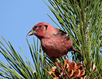 Red Crossbill, photo by Max Kogut, age 12