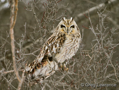Short-eared Owl, photo by Greg Lawrence