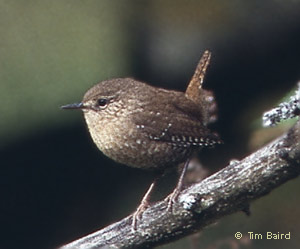 Winter Wren, photo by Tim Baird