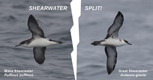 Shearwater Split!, photo by Angus Wilson