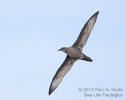 Trindade Petrel, photo by Paul A. Guris