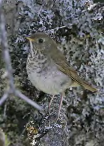 Bicknell's Thrush, photo by Larry Master